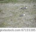 Kemigawahama巢穴的核心燕鸥 67155385
