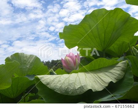 치바 공원 오오가하스의 열기 시작한 꽃 봉오리 67155662