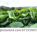 치바 공원 오오가하스의 열기 시작한 꽃 봉오리 67155663