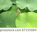 在千叶公园的Ogajas的芽 67155664