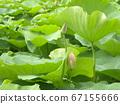 在千叶公园的Ogajas的芽 67155666