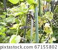 紫鞘是罕见的图坦卡蒙没有豌豆 67155802