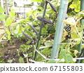 紫鞘是罕见的图坦卡蒙没有豌豆 67155803