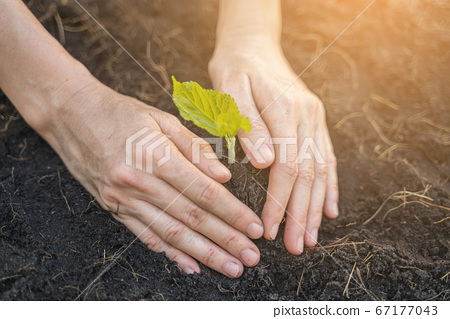 Female Hands planting young sprout, environmental and ecological concept 67177043
