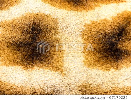 The fur of a giraffe in close-up 67179225