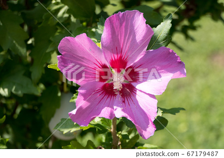 A beautiful pink flower surrounded by green 67179487