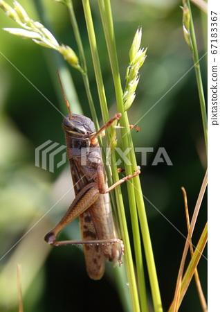 각시 메뚜기 (성충) 67183367