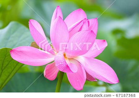 Lotus Flower Ancient Lotus Village, Gyoda City, Saitama Prefecture 67187368