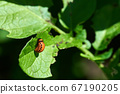 Close-up photo of red potato beetle larvae on a 67190205