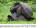 Galapagos Giant Tortoises mating having sex on Santa Cruz Island 67197368