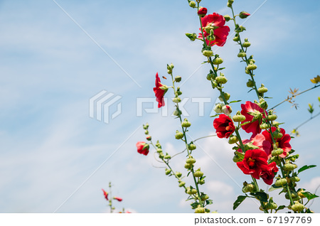 Mugunghwa, rose of Sharon, hibiscus flowers under blue sky in Korea 67197769