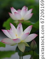 Lotus flower with pink tip of white flower 67206169