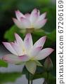 莲花与白花粉红色提示 67206169