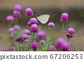 皮埃利斯波斯栖息在粉红色的sennichou花上 67206253