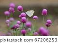 Pieris persicae perching on a pink sennichou flower 67206253