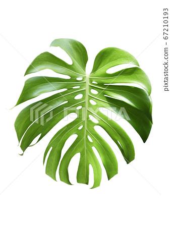 白色背景上的熱帶植物圖片 67210193
