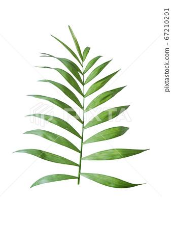 白色背景上的熱帶植物圖片 67210201