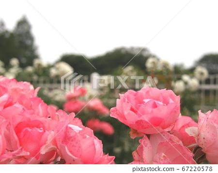장미, 장미꽃, 로즈 67220578