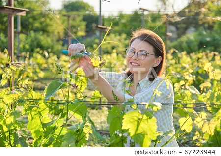 Female working with vine bushes, spring summer pruning vineyard 67223944