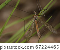Large crane fly sitting on the grass 67224465