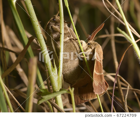 Night brown moths mating in grass 67224709