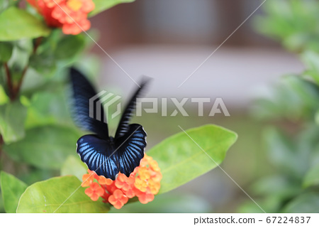 a beautiful blue morpho butterfly on a green 67224837