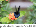a beautiful blue morpho butterfly on a green 67224838