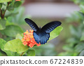 a beautiful blue morpho butterfly on a green 67224839