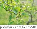 Pear fruit on the tree, spring season beginning of summer in the garden 67225501