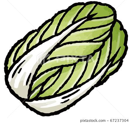 大白菜手繪矢量圖 67237304