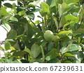 卡琳水果在秋天會變黃變黃,不能生吃 67239631