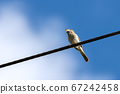 Common Whitethroat (Sylvia communis) perched on a 67242458