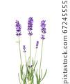 Lavender flowers leaves on white background 67245555