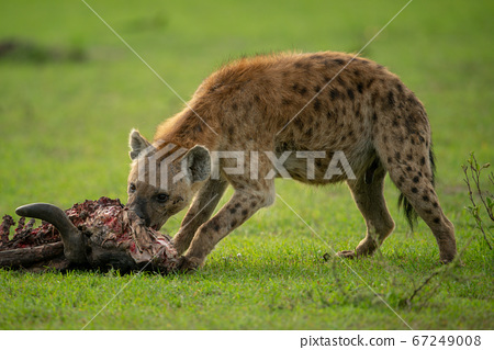 Spotted hyena chews carcase on short grass 67249008