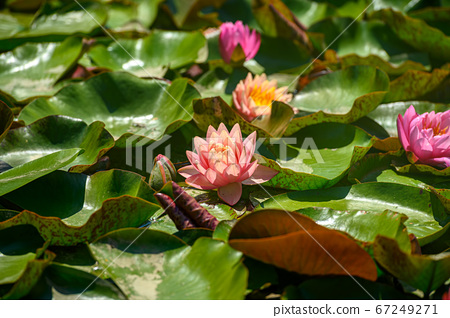 Red water lily AKA Nymphaea alba f. rosea in a lake 67249271