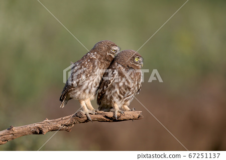 Close-up group portraits of a little owl (Athene 67251137