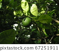 收穫使用綠色的卡沃斯 67251911