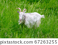 Goat in a field on a paddock on the grass. 67263255