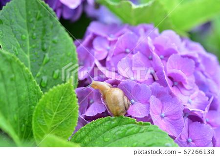 绣球花和蜗牛5在一个雨天 67266138