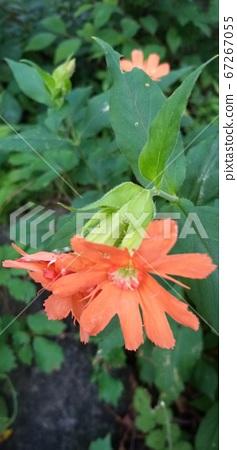 동자꽃 꽃을 피웠다  67267055