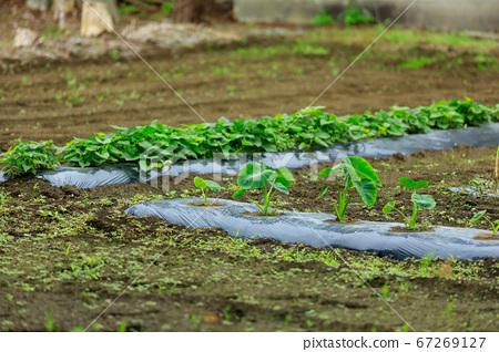 밭의 채소 작물 재배 67269127
