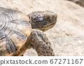 Turtle Testudo Marginata european landturtle closeup wildlife 67271167
