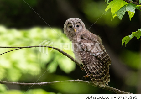 Young Ezo owl cub resting on a tree branch 67273995