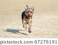 约克夏犬玩狗跑 67276191