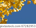 Close up of yellow ginkgo biloba leaves and clear empty copy space 67282953