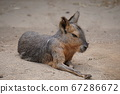 Wallaby 67286672