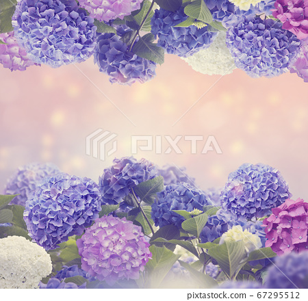 colorful hydrangea flowers for background 67295512
