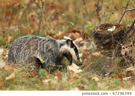 Badger near forest, animal nature habitat, 67296399
