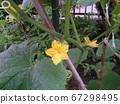 四月,種子黃瓜花開了 67298495