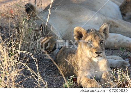 Parent and child lion resting (Kruger National Park, South Africa) 67299880